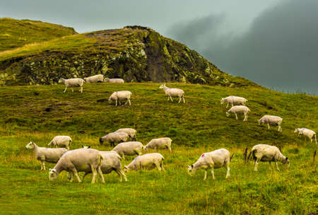 Herd Of Grazing Sheep On Rocky Pasture In Scotland Reklamní fotografie