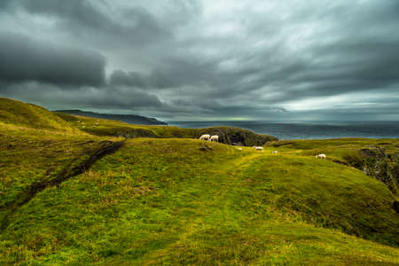 Herd Of Grazing Sheep At The Spectacular Coast Of St. Abbs Head In Scottland Reklamní fotografie - 118976097