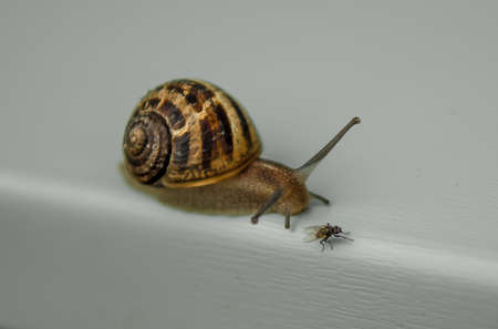 Brown Snail Stalking On Small Fly