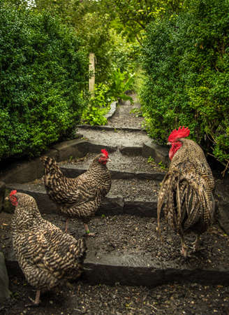 Group Of Chicken With Cock On Stairs in Domestic Garden Reklamní fotografie