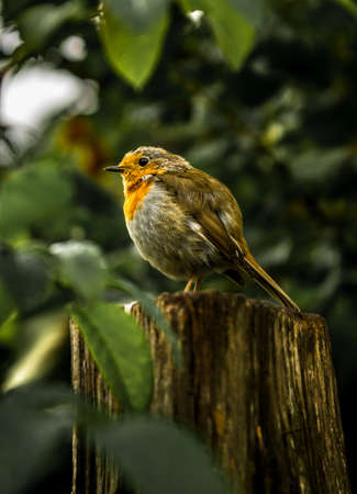Small Readbreast Robin Sitting Attentive On Tree Stump In Forest