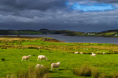 Flock Of Sheep And Remote Settlement In Coastal Landscape On The Isle Of Skye In Scotland