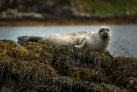 Relaxing Common Seals At The Coast Near Dunvegan Castle On The Isle Of Skye In Scotland