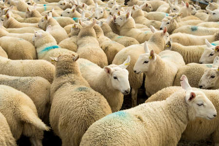 Rebaño de curiosas ovejas blancas con acogedora lana en Escocia