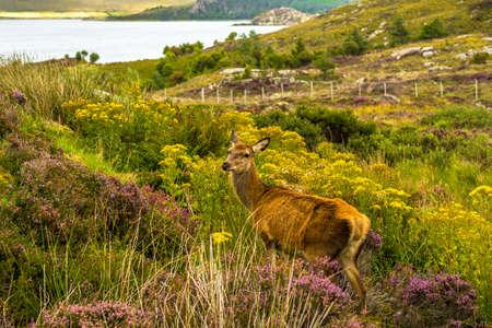 Female Deer In Wild Coastal Landscape In Scotland