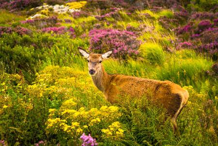 Attentive Female Deer In Scenic Highlands Landscape In Scotland