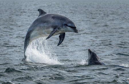 Los delfines mulares salvajes saltando fuera del agua del océano en el Moray Firth cerca de Inverness en Escocia Foto de archivo