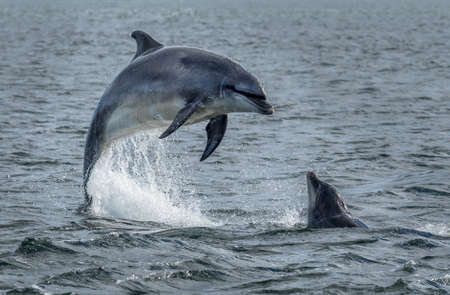 Wild Bottlenose Dolphins Jumping Out Of Ocean Water At The Moray Firth Near Inverness In Scotland Imagens - 118974528