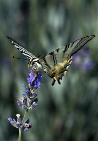 Sail Swallowtail Butterfly (Iphiclides podalirius) Sitting On Purple Flower And Feeding Nectar