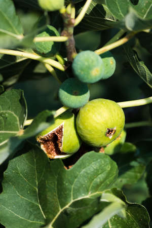 Ripe Figs On A Fig Tree
