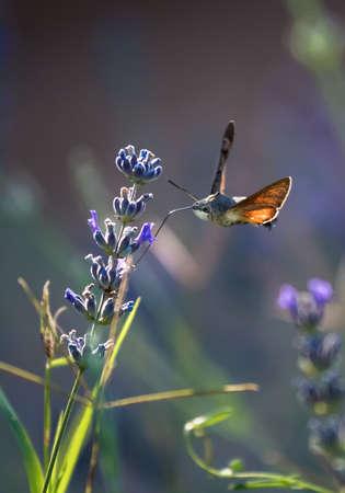 Hummingbird Hawk Moth Butterfly (Macroglossum stellatarum) Drinking Nectar From Flower During Hovering Flight