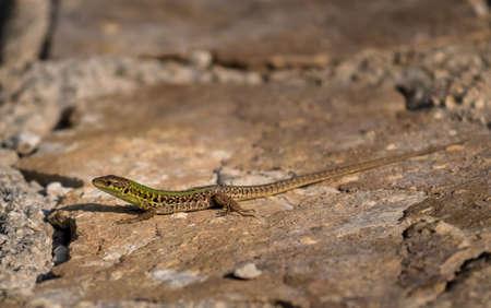 Green Sand Lizard Recreates On Stones In The Warm Sun