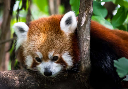 Red Panda Lying On Tree For Recreation