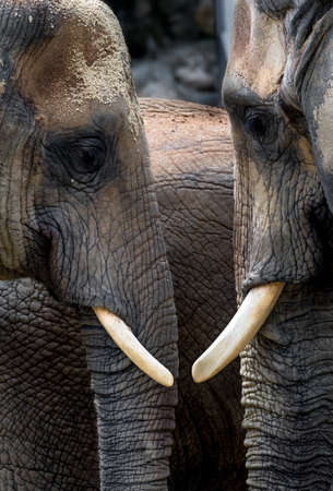 African Elephants With Heads Close Together Stock fotó