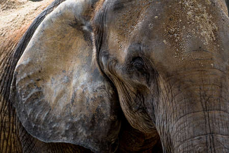 Head Of An Old African Elephant With Wrinkled Skin Stock fotó