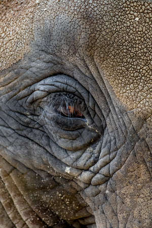 Eye With Long Eyelashes And Wrinkled Skin Of An African Elephant