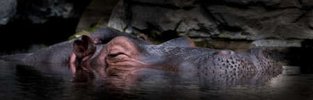 Sleepy Hippo Relaxes Submerged In Calm Water Stock fotó