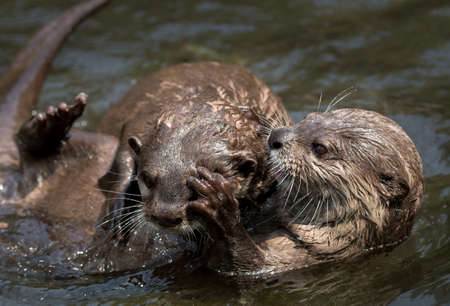 Two Juvenile Otters Fighting In The Water Stock fotó