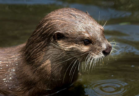Female Otter With Wet Fur In Water Stock fotó