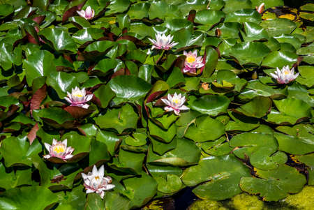 Pink Water Lily Blossoms Between Green Leaves Floating On Calm Water