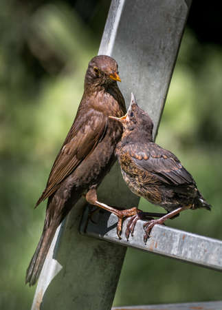 Young Eurasian Blickbird Fledgling Sits On Ladder and Gets Fed With Insect By Its Mother