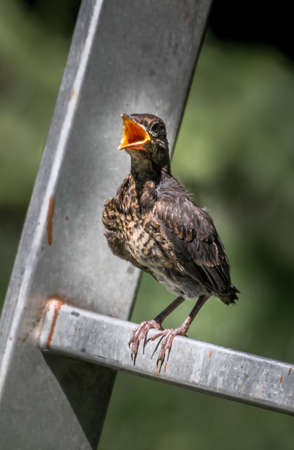 Young Eurasian Blickbird Fledgling Sits On Ladder and Waits To Be Fed With Wide Open Beak