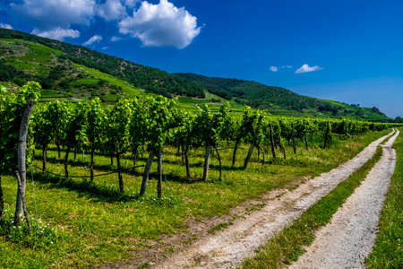 Gravel Road Beneath Vineyard And Terraces In Wachau Danube Valley In Austria