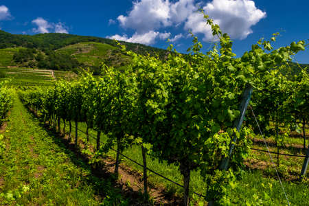 Vineyard With Terraces In The Wachau Danube Valley In Austria