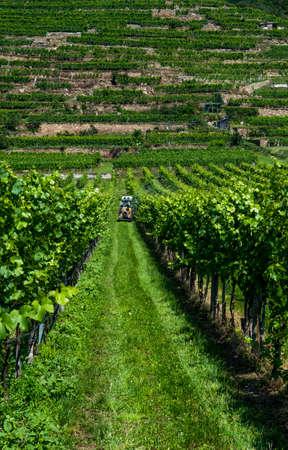 Tractor During Work In Green Vineyard With Terrace In Wachau Danube Valley In Austria