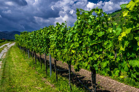 Fresh Green Grapes In Vineyard With Terraces In The Wachau Danube Valley In Austria