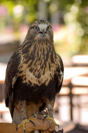 shot of a Rough-legged Buzzard at the zoo Stock Photo