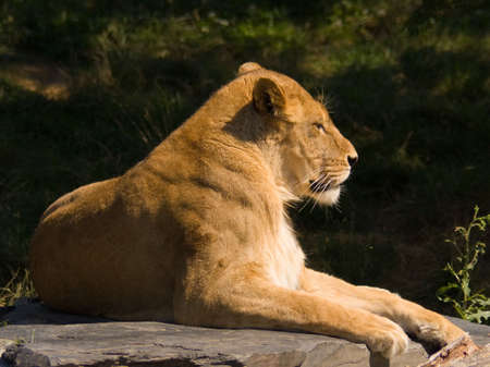 A lioness resting on a rock at the zoo Stock Photo