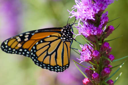 A Monarch Butterfly feeding on a pink flower