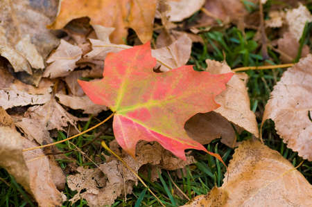 a colorful maple leaf on the on the ground. Stock Photo