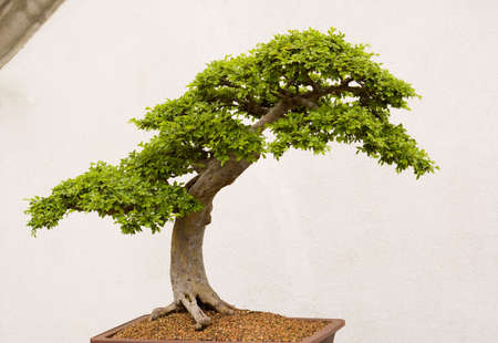 old bonsai tree shot in front of a white wall