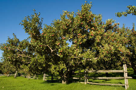 Apple trees in an orchard, with cedar fence.