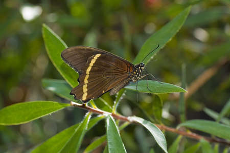 mormon: a Common mormon butterfly on a leaf