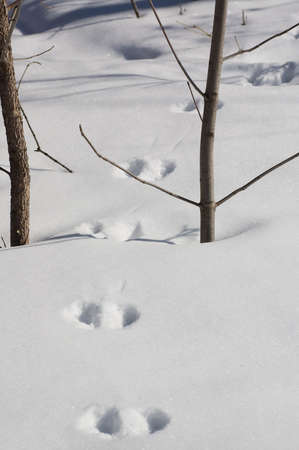 Hare footprint in the snow, shot in montreal, canada. photo
