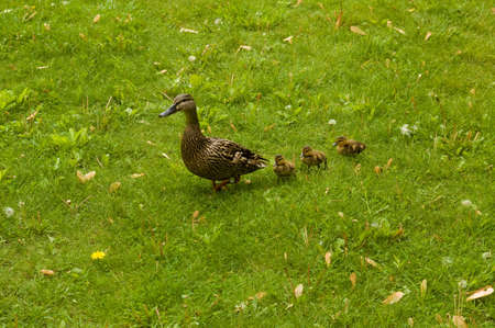 A duck with its duckling walking on the grass