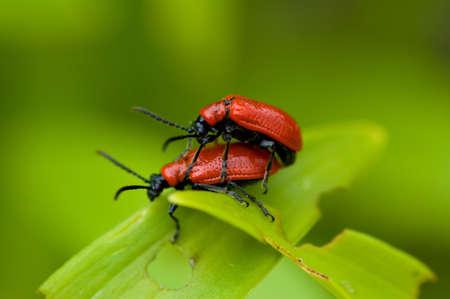 making love: Lily hoja escarabajos hacer el amor en una hoja.