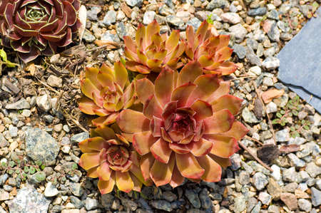 red and yellow succulent plants on a stone desert garden Stock Photo