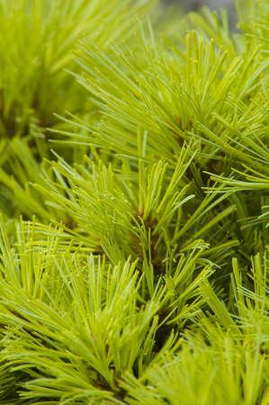 close-up of a Pine branch good for background Reklamní fotografie