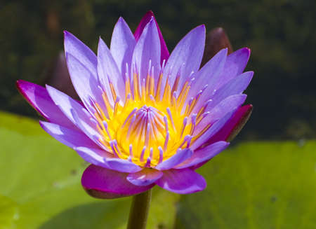 close-up shot of a purple water lily with depth of field effect