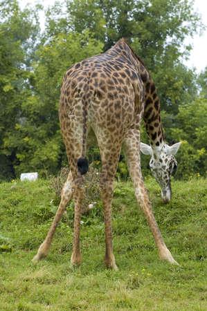 beine spreizen: Giraffe Gras mit einer Ausbreitung Beine Position Essen
