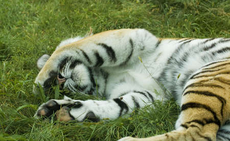 A tiger sleeping on grass with a leg over its eyes photo