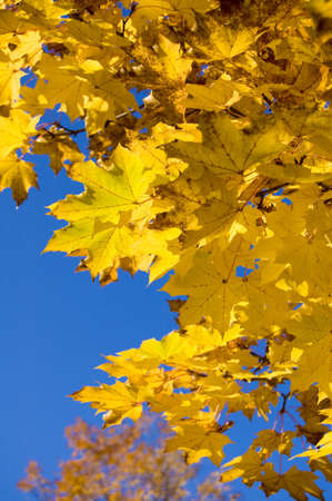 a close-up shot of a maple tree branch during an autumn sunny day