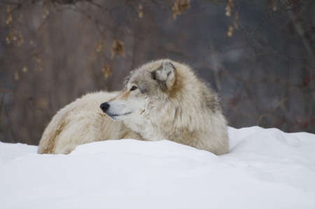 a wolf laying down in the snow during a cold day