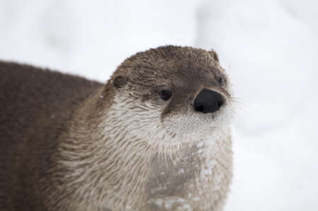A commonly called river otter that live in canada. Its just out of water and all wet
