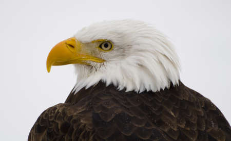 a bald eagle close up shot during the winter
