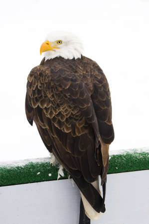 a portrait of a bald eagle during a cold winter day in canada Stock Photo